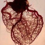 венечные артерии