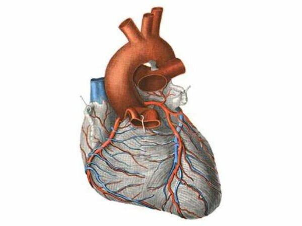 Вены сердца человека: строение, нарушения, диагностика и профилактика