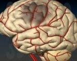 мозг и сосуды питающие его